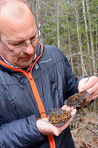 Researcher examining Siberian flying squirrel (Pteromys volans) droppings. Mature mixed forest, near Lisaku, Estonia. April 2018. Model released. - Nick Upton