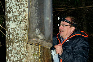 Researcher inspecting a Siberian flying squirrel (Pteromys volans) caught in trap on old Aspen (Populus tremula) tree with occupied nest hole. Muraka Forest Reserve, near Lisaku, Estonia. April 2018....  -  Nick Upton