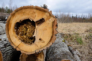 Felled Aspen (Populus tremula) trees with tit nests in hollows. Treeholes suitable for Siberan flying squirrel (Pteromys volans). Near Lisaku, Estonia. April 2018. - Nick Upton