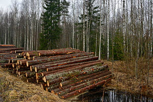 Felled conifers stacked at edge of forest.Near Muraka Forest Reserve, a rare surviving home for the Siberian flying squirrel (Pteromys volans). Estonia. April 2018. - Nick Upton
