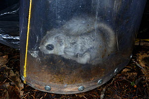 Siberian flying squirrel (Pteromys volans) caught in trap, prior to fitting of radio collar. Muraka Forest Reserve, near Lisaku, Estonia. April.  -  Nick Upton