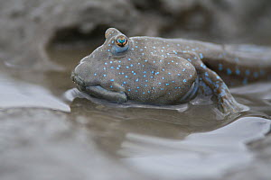 Great blue spotted mudskipper (Boleophthalmus pectinirostris), portrait. Kyushu Island, Japan. - Remi Masson