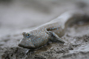 Great blue spotted mudskipper (Boleophthalmus pectinirostris) resting on mud at low tide, portrait. Kyushu Island, Japan. August. - Remi Masson