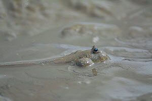 Great blue spotted mudskipper (Boleophthalmus pectinirostris) submerged with head above mud. Kyushu Island, Japan. - Remi Masson
