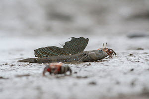 Great blue spotted mudskipper (Boleophthalmus pectinirostris) resting on ud at low tide, surrounded by crabs. Kyushu Island, Japan. August. - Remi Masson