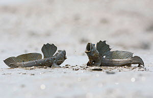 Great blue spotted mudskipper (Boleophthalmus pectinirostris), two males in territorial fight. On mud at low tide, Kyushu Island, Japan. August. - Remi Masson