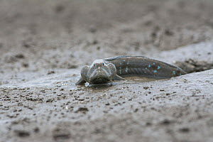 Great blue spotted mudskipper (Boleophthalmus pectinirostris) emerging from burrow in mud at low tide. Kyushu Island, Japan. August. August. - Remi Masson