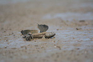 Great blue spotted mudskipper (Boleophthalmus pectinirostris) resting in mud at low tide. Kyushu Island, Japan. August. - Remi Masson