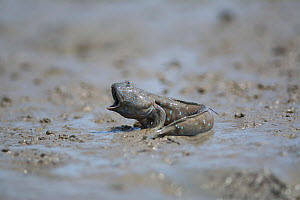 Great blue spotted mudskipper (Boleophthalmus pectinirostris) with mouth open in aggression, on mud at low tide. Kyushu Island, Japan. August. - Remi Masson