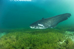 Wels catfish (Silurus glanis) swimming at bottom of Lake Neuchatel. Switzerland. September.  -  Remi Masson