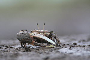 Crab (Uca sp) with large pincer, in mud. Kyushu Island, Japan. August.  -  Remi Masson