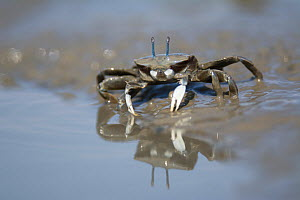 Japanese mud crab (Macrophthalmus japonicus) feeding in mud, reflected in water. Kyushu Island, Japan. August.  -  Remi Masson