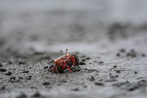 Crab (Cleistostoma dilatatum) in mud. Kyushu Island, Japan. August.  -  Remi Masson
