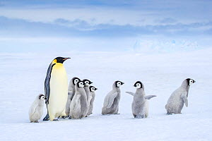 Emperor penguin (Aptenodytes forsteri) adult and chicks walking, Antarctica. - Klein & Hubert