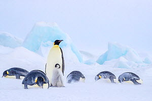 Emperor penguins (Aptenodytes forsteri) One adult with chick standing on fast ice and some other adults resting on the ice during snow storm. , Antarctica. - Klein & Hubert