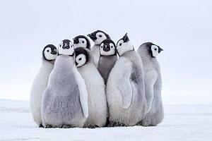 Emperors penguins (Aptenodytes forsteri) group of chicks on fast ice near colony, Antarctica. - Klein & Hubert