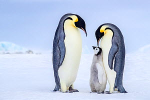 Emperor penguins (Aptenodytes forsteri) adults and chick, Antarctica. - Klein & Hubert