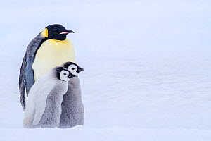 Emperor penguin (Aptenodytes forsteri) adult and two chicks, Antarctica. - Klein & Hubert