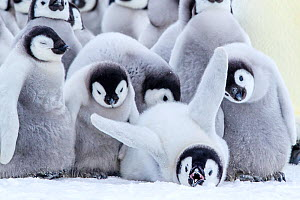 Emperors penguins (Aptenodytes forsteri) group of chicks, one is stretching, Antarctica. - Klein & Hubert