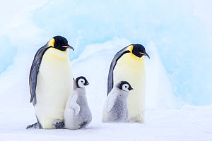 Emperor penguins (Aptenodytes forsteri) adults and chicks, Antarctica. - Klein & Hubert