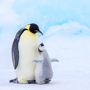 Emperor penguin (Aptenodytes forsteri) adult and chick begging for food, on ice near colony, Antarctica. - Klein & Hubert