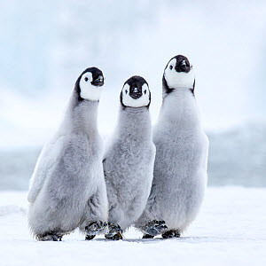 Emperors penguins (Aptenodytes forsteri) three chicks walking, Antarctica. - Klein & Hubert