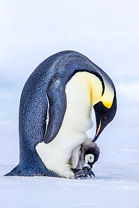 Emperor penguin (Aptenodytes forsteri) chick sitting on adult's feet and protected from cold in brood pouch, Antarctica.  -  Klein & Hubert