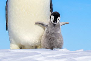 Emperor penguin (Aptenodytes forsteri) adult and chick shaking wings, Antarctica. - Klein & Hubert