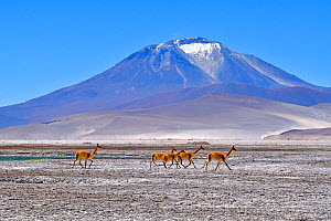 Vicuna (Vicugna vicugna), five running across salt flat with mountain in background. Salar de Ascotan, Chile. September 2018.  -  Daniel  Heuclin