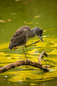 Black-crowned night-heron (Nycticorax nycticorax) juvenile preening whilst standing on log. Toxin forming Blue-green algae (Woronichinia naegeliana) in water behind. Maryland. October 2018. - John Cancalosi
