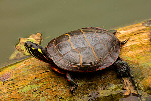Painted turtle (Chrysemys picta) on log in water. Maryland. September.  -  John Cancalosi