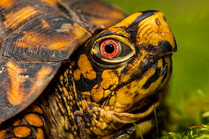 eastern box turtle (Terrapene carolina carolina) , adult male, Maryland  -  John Cancalosi