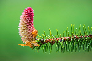 Norway Spruce (Picea abies) branch with cone, Dorset, England, UK.  -  Guy Edwardes