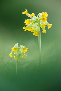 Cowslip (Primula veris), Hardington Moor NNR, Somerset, UK.  -  Guy Edwardes