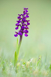 Green-winged Orchid (Orchis morio), Hardington Moor NNR, Somerset, UK.  -  Guy Edwardes