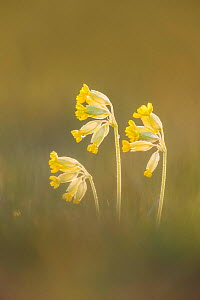 Cowslip (Primula veris), Hardington Moor NNR, Somerset  -  Guy Edwardes