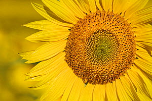 Sunflower (Helianthus annuus) Alpes-de-Haute-Provence, France.  -  Guy Edwardes