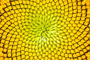 Close up of a sunflower (Helianthus annuus) head, Provence, France.  -  Guy Edwardes