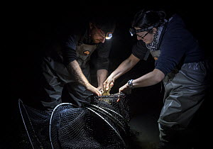 Platypus researchers retrieving a platypus (Ornithorhynchus anatinus) from a Fyke net that was set up to capture them as part of a Melbourne Water study to monitor the local population. Worri Yallock... - Doug Gimesy
