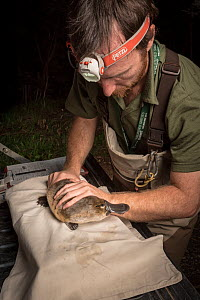 Platypus researchers holding a Platypus (Ornithorhynchus anatinus) which was captured as part of a Melbourne Water study to monitor the local population. Chum Creek, Healsville, Victoria, Australia. M... - Doug Gimesy