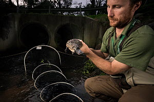 Platypus researcher retrieves a platypus (Ornithorhynchus anatinus) from a net that was set up to capture and help monitor the local population. Chum Creek, Healsville, Victoria, Australia. May, 2017....  -  Doug Gimesy