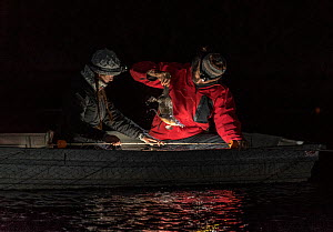 Two researchers in the middle of the Snowy River to collect a platypus (Ornithorhynchus anatinus) from the gill net they had set hours before. Snowy River, Dalgety, NSW, Australia. September 2017. Mod...  -  Doug Gimesy