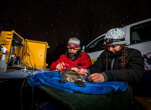 Two researchers examine and take measurements from a young female platypus (Ornithorhynchus anatinus) Dalgety, NSW, Australia. September, 2017.Model released.  -  Doug Gimesy