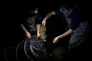 Platypus researchers retrieving a Platypus (Ornithorhynchus anatinus) from a Fyke net that was set up to capture them as part of a Melbourne Water study to monitor the local population. Once retrieved... - Doug Gimesy