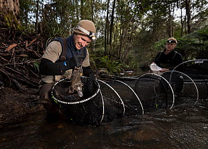 Platypus researcher retrieving a Platypus (Ornithorhynchus anatinus) from a Fyke net that was set up to capture and help monitor the local population. McMahons Creek, Yarra Ranges, Victoria, Australia...  -  Doug Gimesy