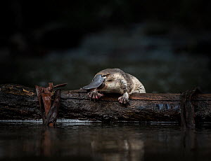 Young Platypus (Ornithorhynchus anatinus) released onto a log in McMahons Creek, Yarra Ranges, Victoria, Australia. Controlled conditions . September.  -  Doug Gimesy