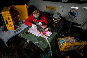 Two researchers examining a anaesthetised Platypus (Ornithorhynchus anatinus) and starting to glue a temporary radio transponder to its tail. Snowy River banks, Dalgety, NSW, Australia. September, 201...  -  Doug Gimesy