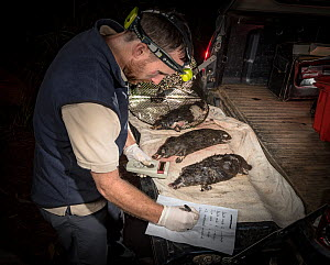 Ecologist and Platypus (Ornithorhynchus anatinus) expert Joshua Griffiths analysing five dead platypuses found drowned and found in two Opera House Nets used to trap yabby's (crayfish), placed illegal...  -  Doug Gimesy