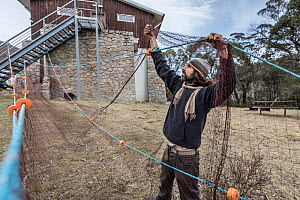 Platypus (Ornithorhynchus anatinus) researcher cleaning and untangling gill nets. Rangers station, Thredbo, NSW, Australia  -  Doug Gimesy