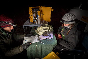 Volunteer field assistant recording data from an anaesthetised platypus (Ornithorhynchus anatinus) as it starts to recover from the anesthetic. It was anaesthetised so a temporary radio transponder co... - Doug Gimesy